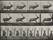 Eadweard Muybridge, Animal Locomotion, plate 695