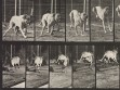 Eadweard Muybridge, Animal Locomotion, plate 712